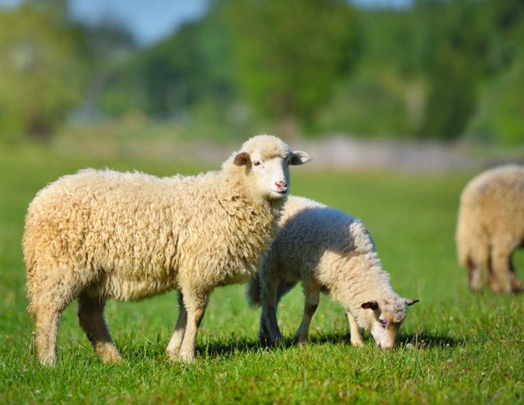 Sheep | The Vegetarian Society